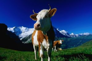Switzerland, best known for its banks, cheese, chocolate, watches, public transport system, the Alps and cows with large bells